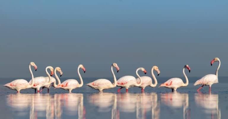 Group birds of pink African Flamingos walking around the blue lagoon on a sunny day, Namibia