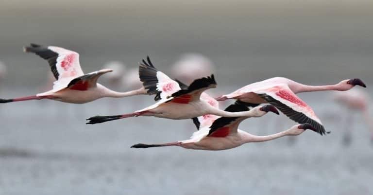 Flamingo in flight over water