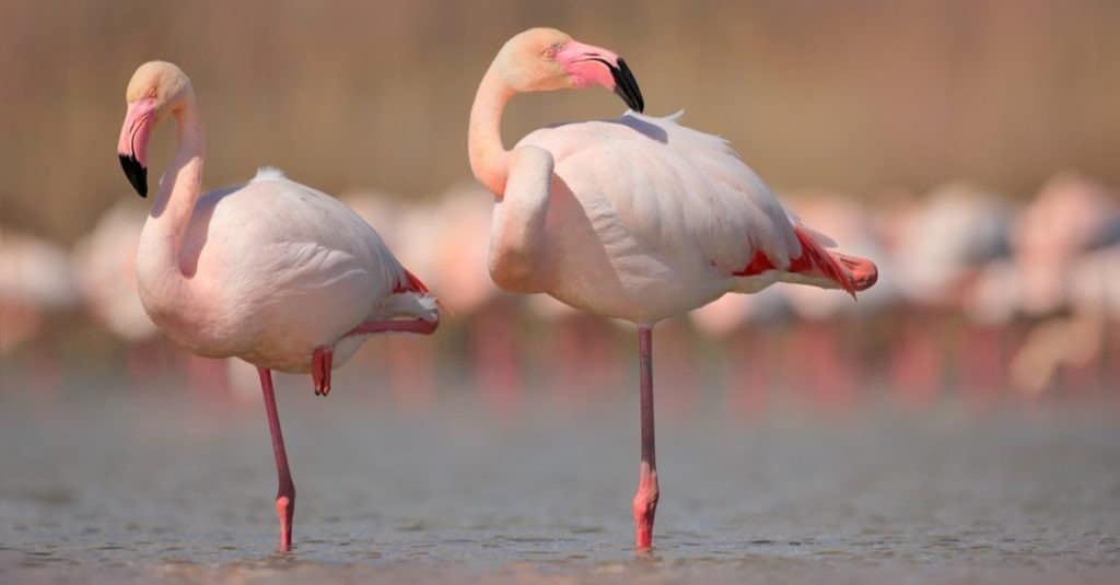 Pink big birds Greater Flamingos, Phoenicopterus ruber, in the water, Camargue, France.