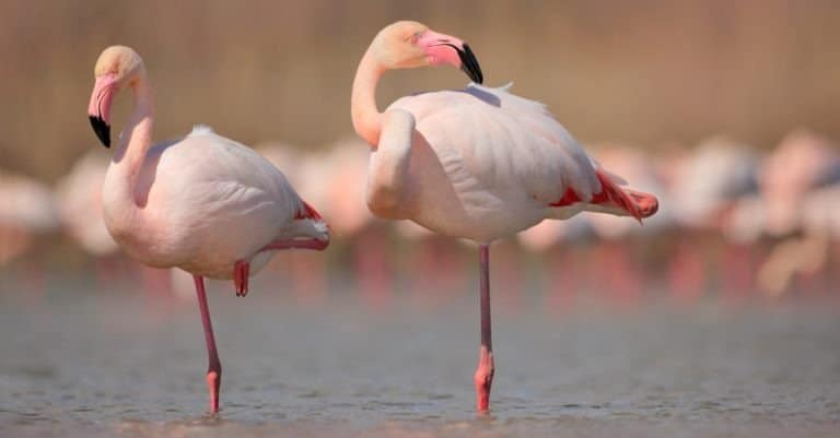 Greater Flamingos, Phoenicopterus ruber, in the water, Camargue, France.