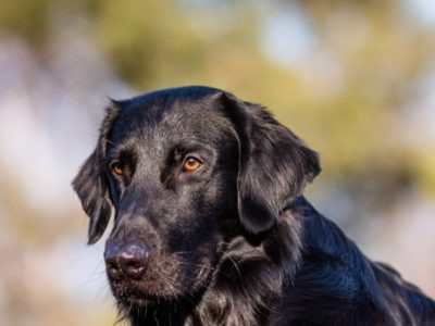 A Flat-Coated Retriever