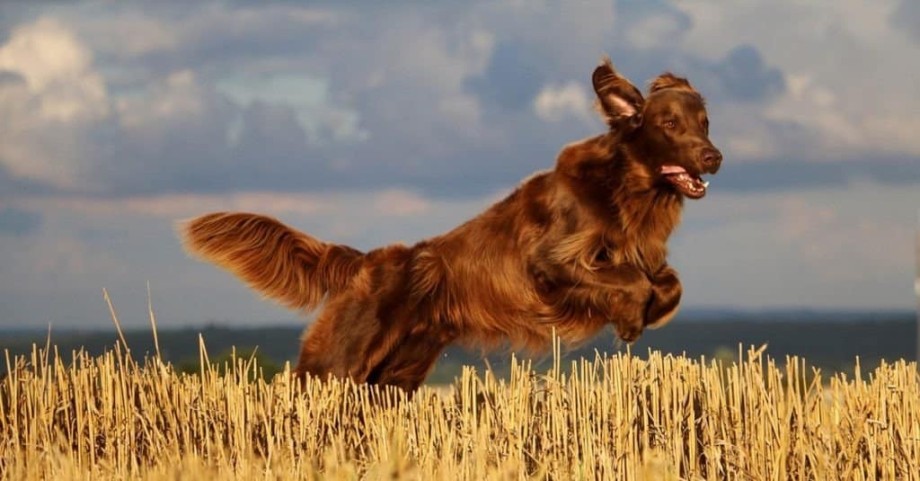 flat coated retriever is jumping on a stubble field in the sunshine