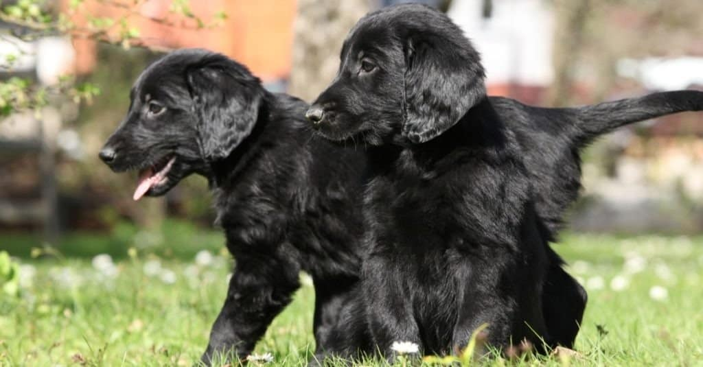 Flat-coated retriever puppies playing