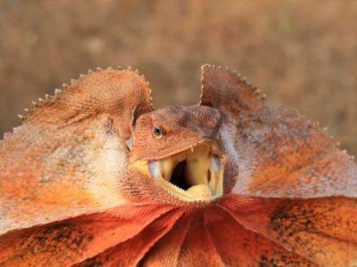 A Frilled Lizard
