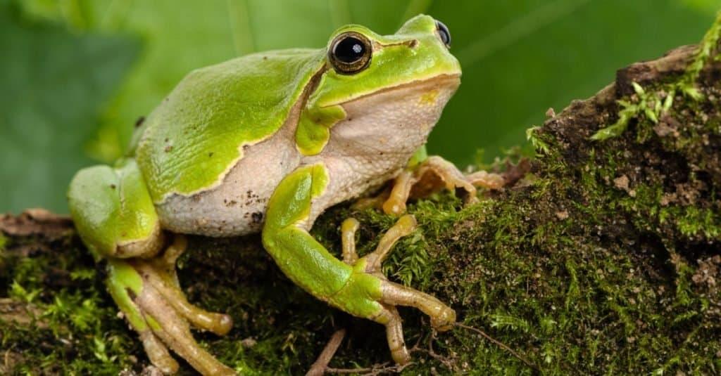 European green tree frog, Hyla arborea