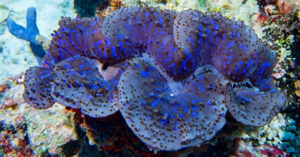 Blue color giant Tridacna clam underwater