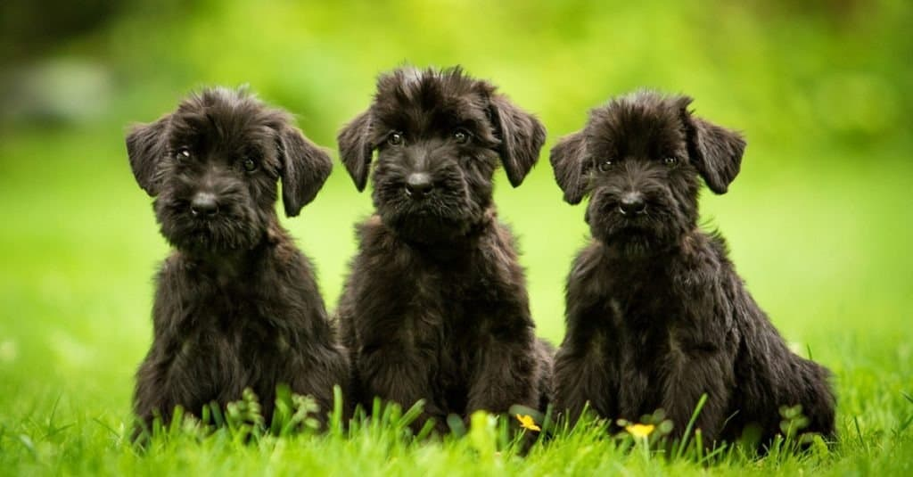 Three giant schnauzer puppies sitting on the lawn