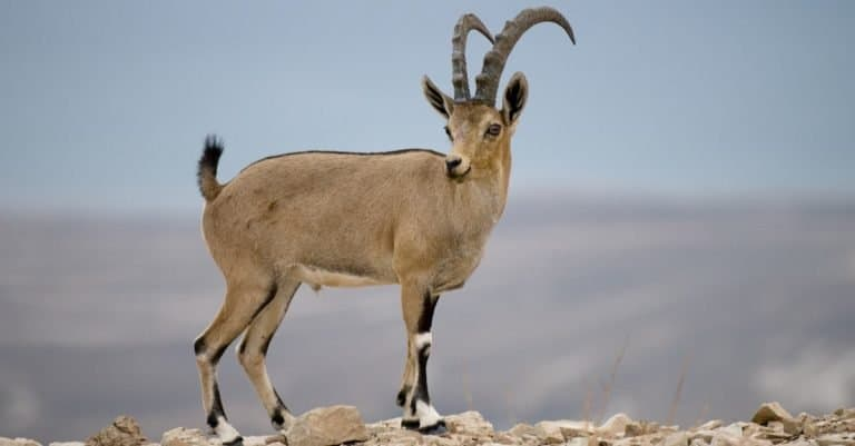 Goat, Ibex at the Judean desert, Israel