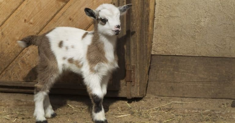 Baby goat standing in front of a barn