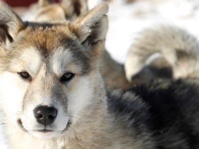 A Greenland Dog
