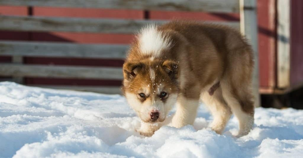 Cute Greenland dog puppy, Greenland