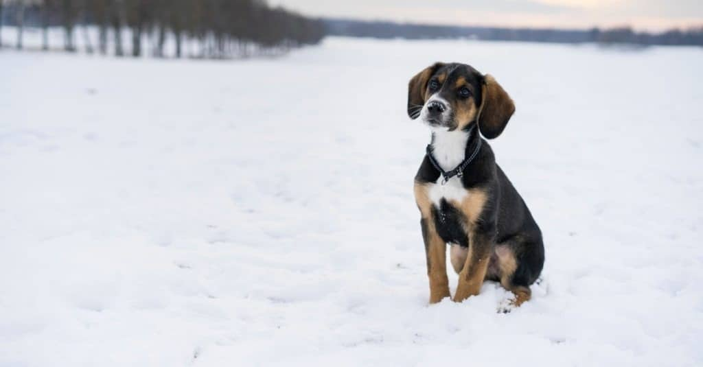 Small cute harrier puppy sitting outdoors on snow in Swedish nature and winter landscape