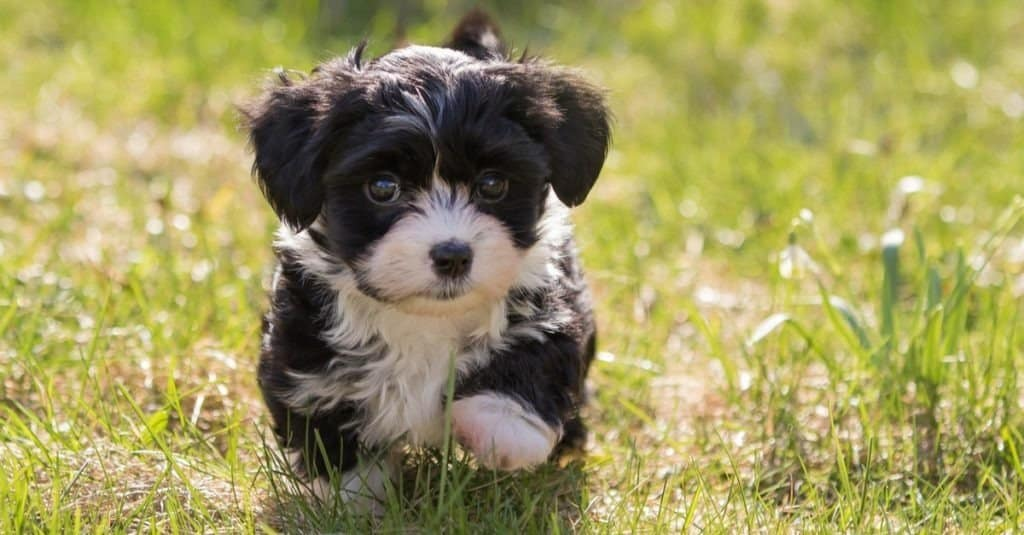 Havanese puppy dog in the meadow