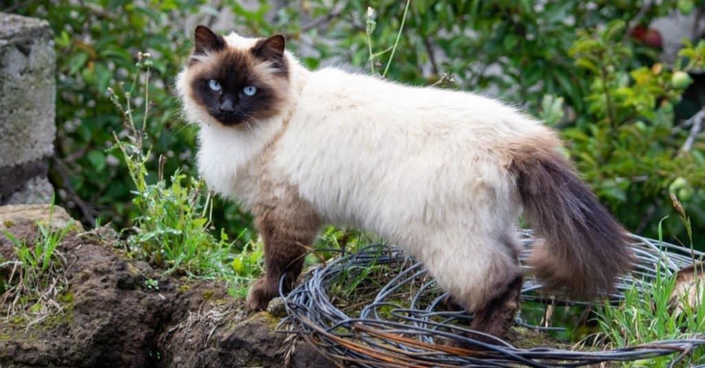 Beautiful Himalayan cat playing outside in the garden.