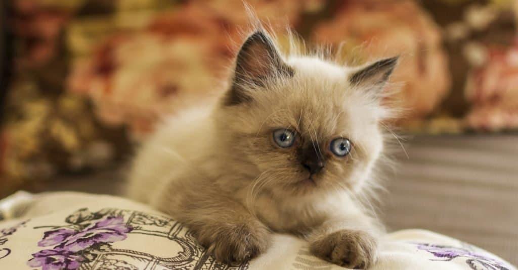 Cute Himalayan kitten lying on a bed.