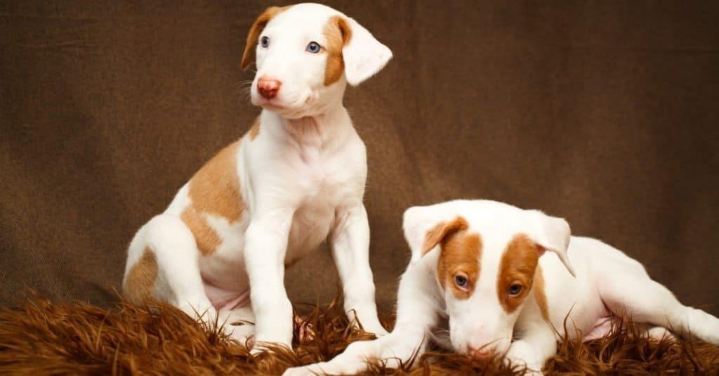 Ibizan Hound puppies