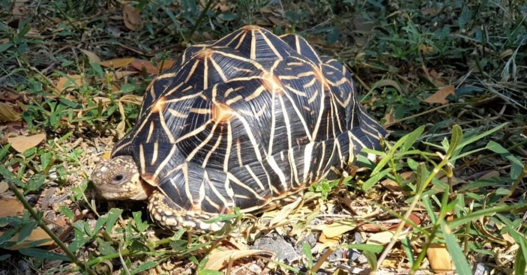 Indian star tortoise feeding