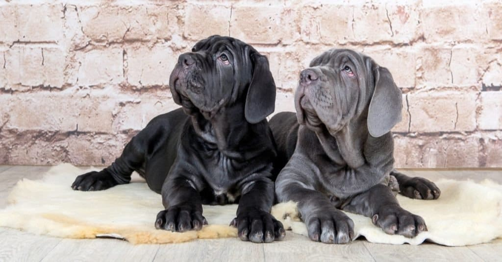 Grey, black and brown puppies, Neapolitan Mastiff