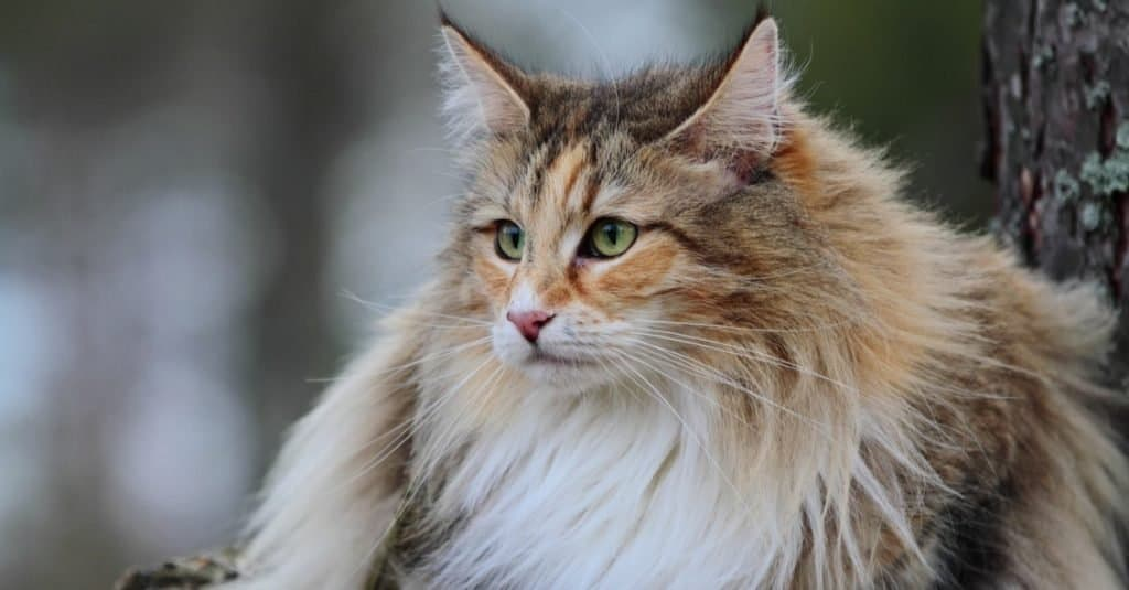 Norwegian forest cat in the forest.