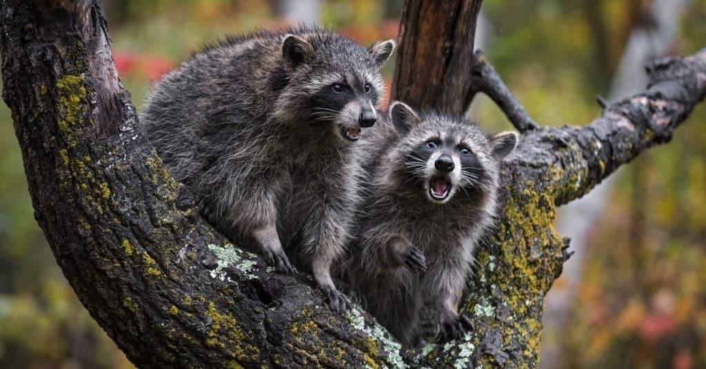 Raccoons (Procyon lotor) Mouths Open in Rain in Tree