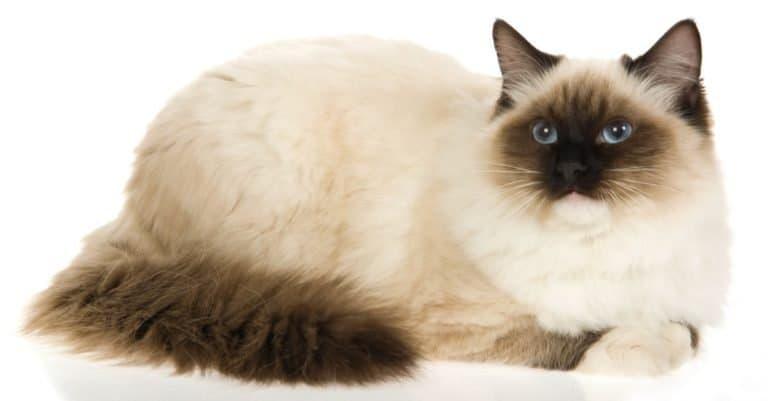Sealpoint mitted Ragdoll cat on white background