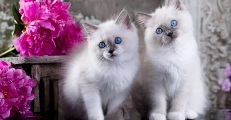 Two Ragdoll blue point little kittens playing outside.