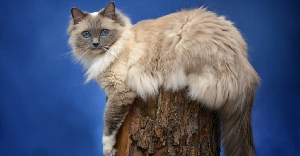 Blue Mitted Ragdoll Cat outside, sitting on a stump.