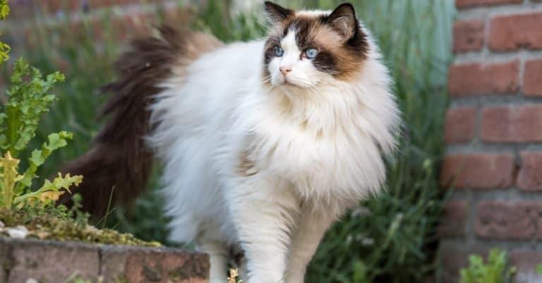 Adult fluffy Ragdoll cat outside.