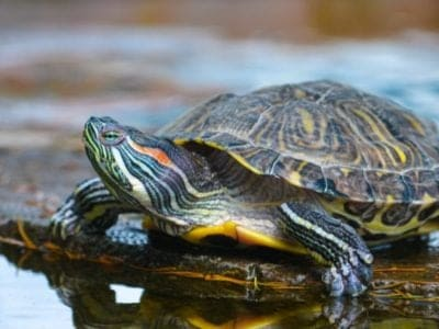A River Turtle