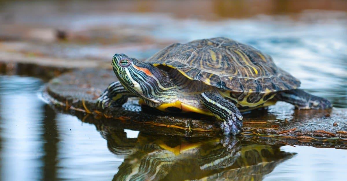 River Turtle Animal Facts | AZ Animals