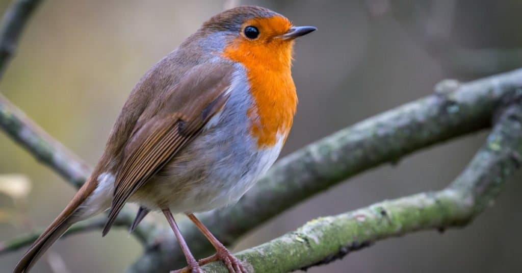 European Robin, more commonly known simply as a Robin, or Robin Redbreast