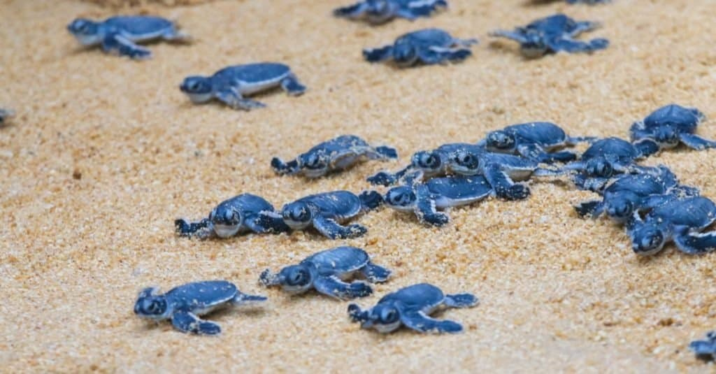 Sea turtle hatchlings on the sand