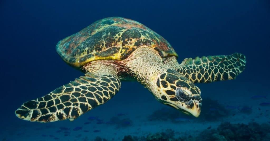 Sea Turtle (Hawksbill Turtle) with clean background.