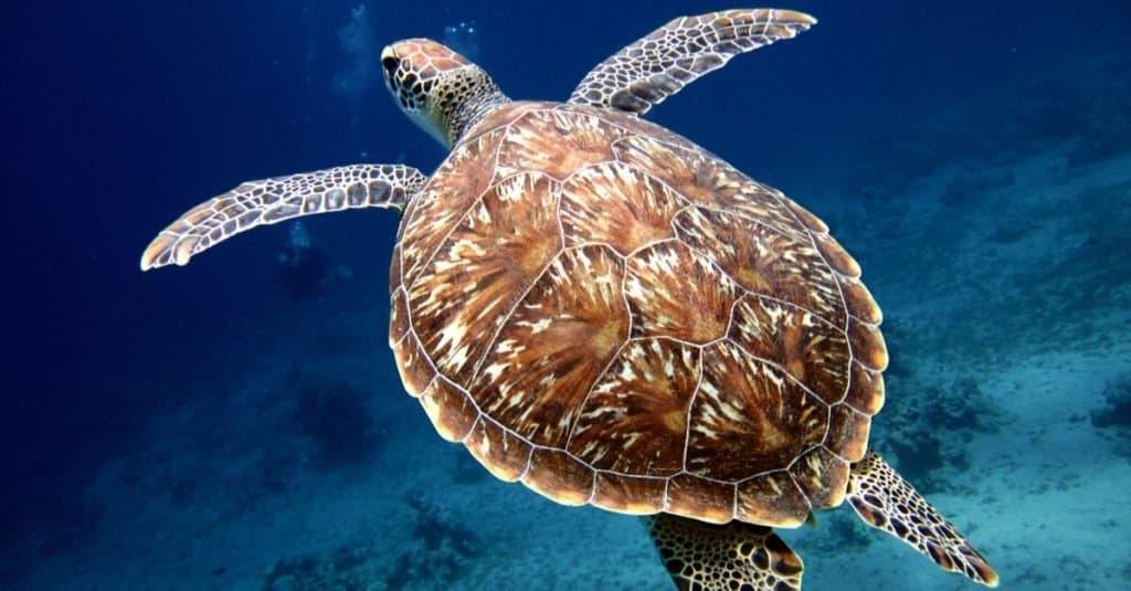 Swimming Sea Turtle with Beautiful Shell