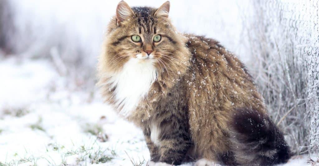 Beautiful Siberian cat sitting on the snow.