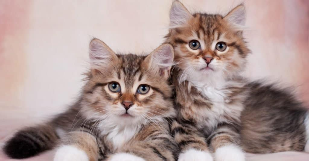 Two cute Siberian kittens on a beautiful neutral background.