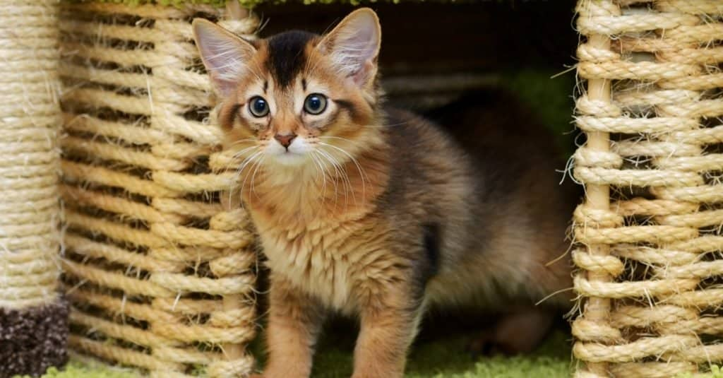 A cute Somali kitten playing in the cat house.