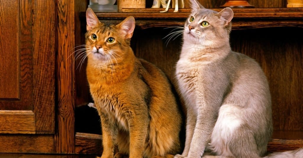 Ruddy and Blue Somali cats sitting on a sideboard.