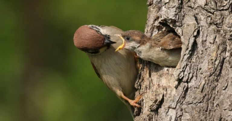 The Eurasian tree sparrow (Passer montanus) sitting on the tree with his nest and feeding his chick.