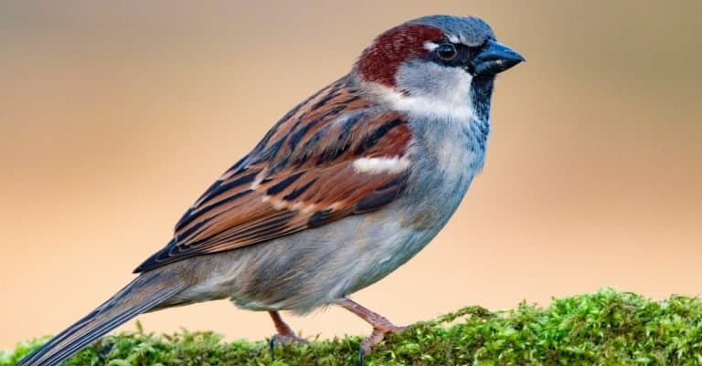 A male House Sparrow (Passer domesticus) sitting on a mossy branch