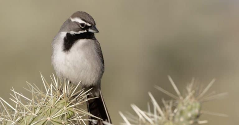 A black-throated sparrow comfortably sits on a cactus in Tucson, Arizona