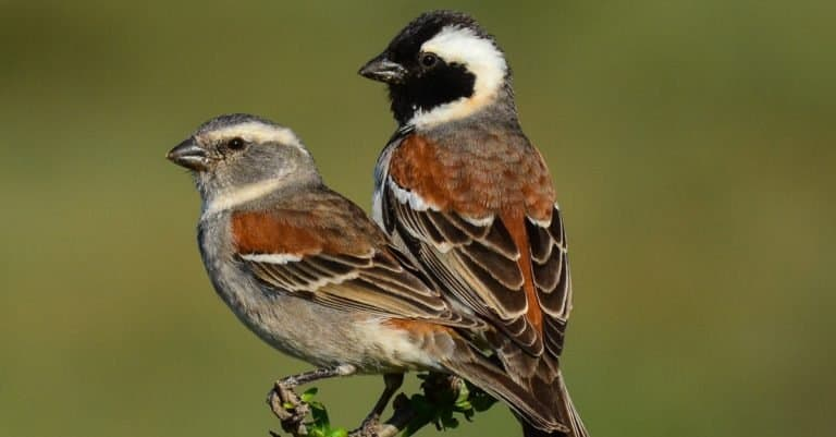 A pair of Cape sparrows sitting on a branch