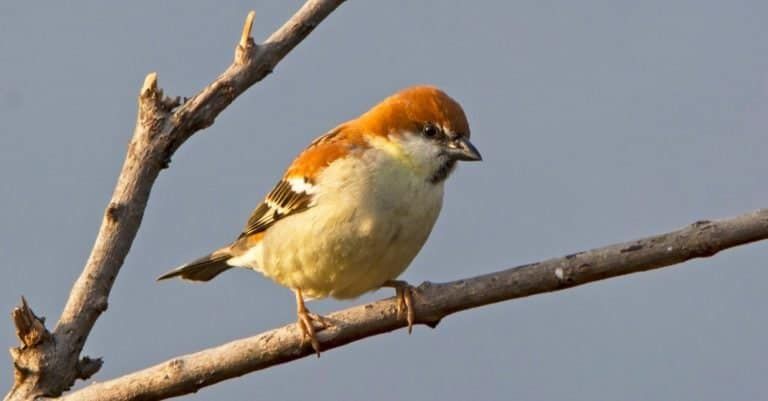 Male Russet Sparrow or Cinnamon or Cinnamon Tree Sparrow sitting in a tree.