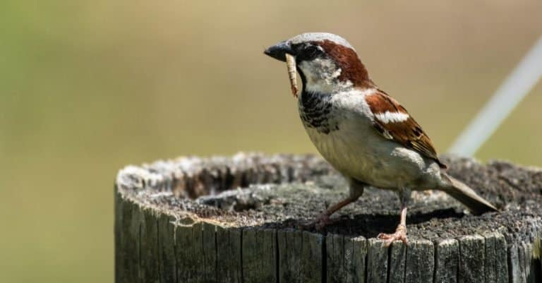 An Italian Sparrow with a worm in its mouth.
