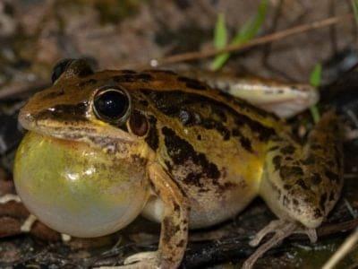 A Striped Rocket Frog