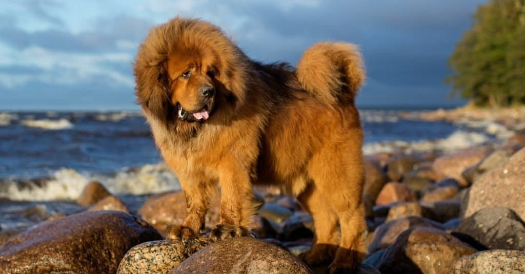 Tibetan Mastiff on the rocks