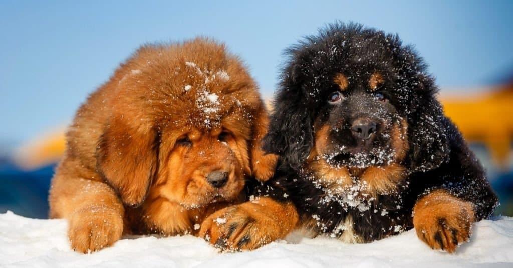 Pretty Tibetan mastiff puppies in the open air