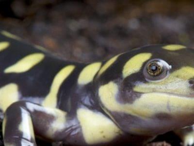 A Tiger Salamander