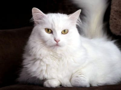 A Turkish Angora
