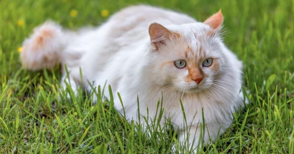 Turkish Angora lying in the garden on green grass.